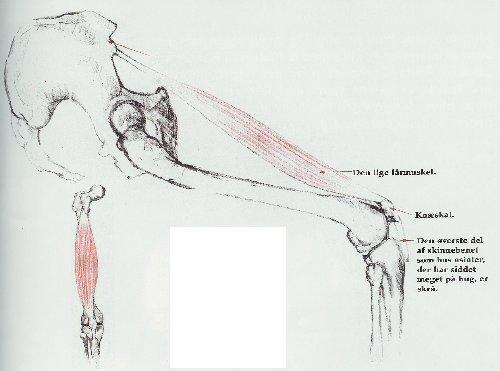 haserne anatomi